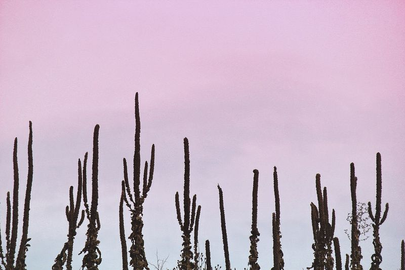 Cactuses Growing Against Sky During Sunset