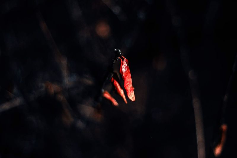 Close-up of red butterfly
