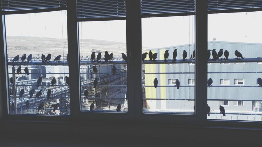 Starling Starling Family Factory Invasion Sığırcık Istilası