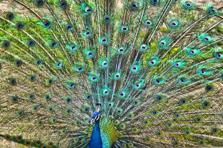 Zoo Pavone Coda Spettacolare Bellissimo WOW Whywelovenature