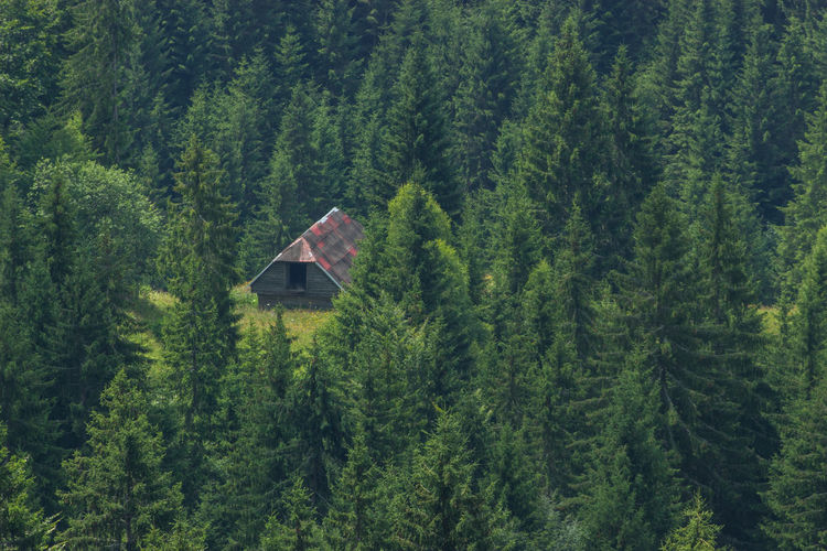 Scenic view of pine trees in forest and hut