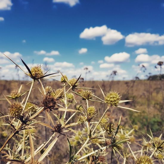Lost In The Landscape Thorn Nature Cactus Plant Growth Uncultivated Flower Wildflower Spiked Outdoors Beauty In Nature No People Day Close-up Focus On Foreground Sky Springtime Desert Thistle Prickly Pear Cactus S8 Collection S8 Samsungphotography