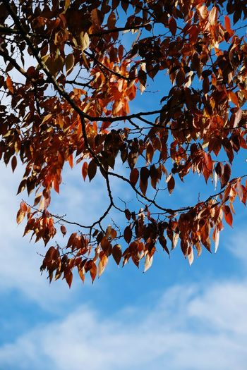 Season  Background Mroning Sky And Clouds Abstract Fall Blue Sky Tree Branch Leaf Autumn Sky Close-up