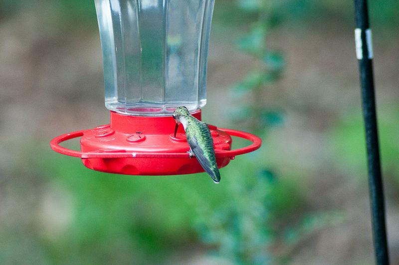 Hummingbird in