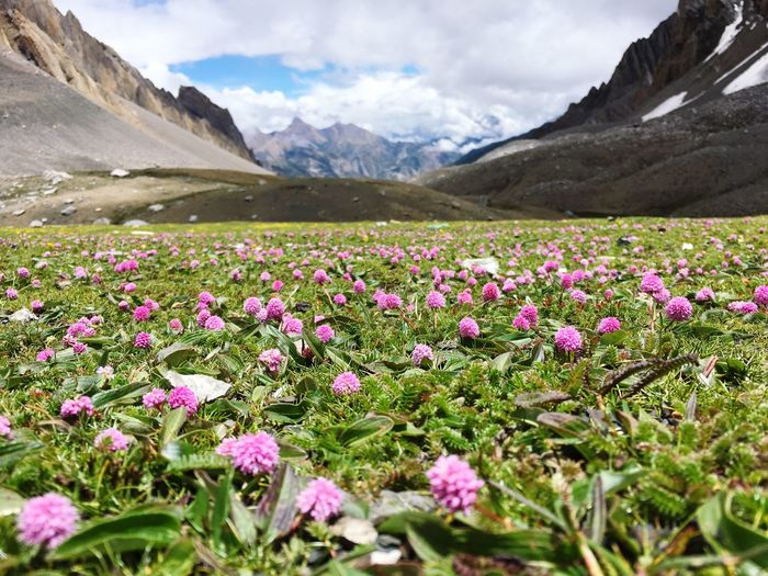 Pink flowering plants by mountains against sky