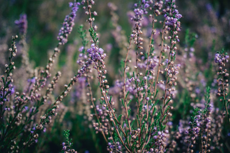 Close-Up Of Purple Flowering Plant Growing On Field