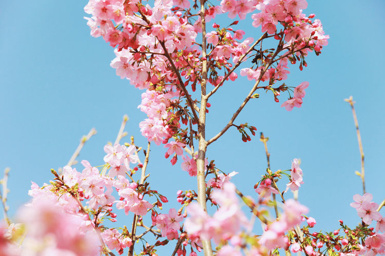 flowers Photography Photo Forest Travel Photography Travel Nature Nature Photography Nature_collection Naturephotography Nature_perfection Flowers Flowers,Plants & Garden Flowers, Nature And Beauty Flowers_collection Tree Flower Branch Flower Head Springtime Pink Color Pastel Colored Blossom Cultures Sky