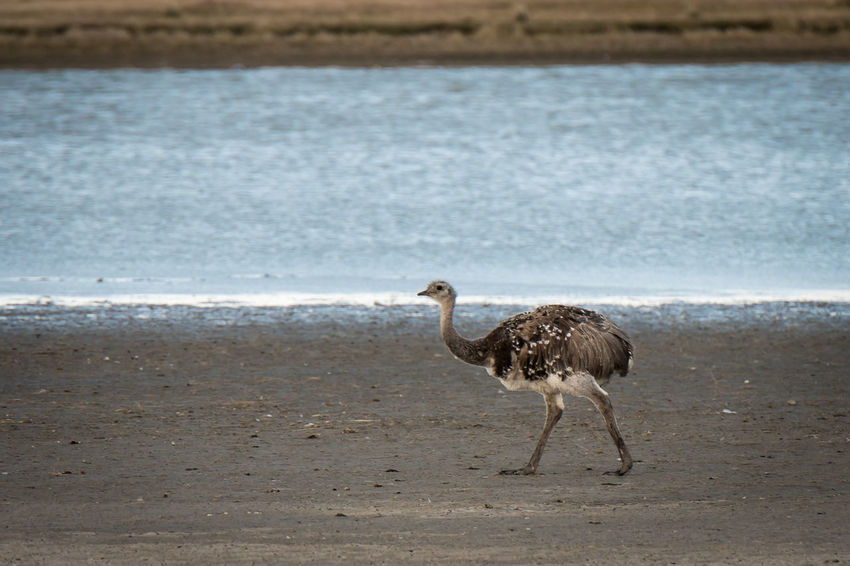 Animal Animal Themes Animal Wildlife Animals In The Wild Beach Bird Day Full Length Land Nature No People One Animal Ostrich Outdoors Profile View Sand Sea Standing Vertebrate Walking Water