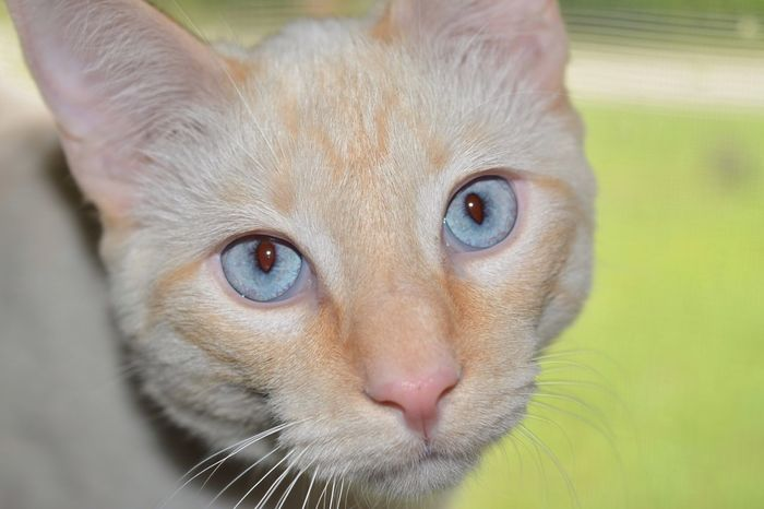 EyeEm Eyeemphoto Nature Cat Pet Animal Feline Blue BlueEyes Face Flamepoint Flamepoincat Cute Beauty Macro