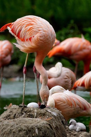 Flamingoes with chick and egg at lakeshore