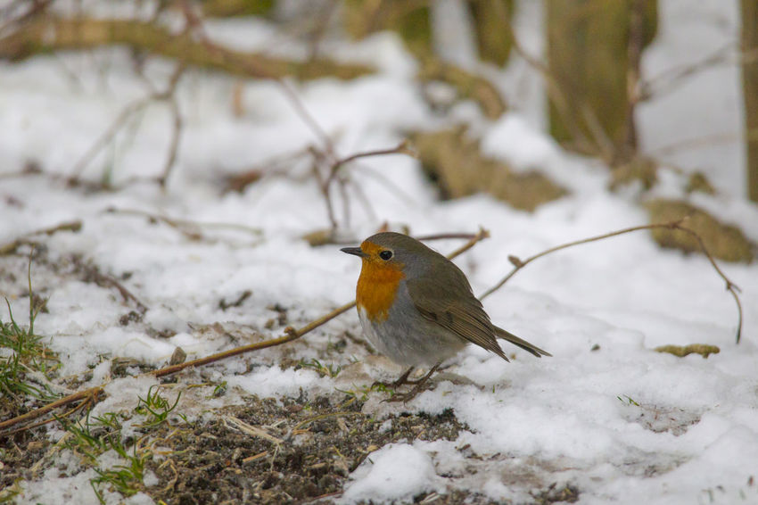 male robin in courtship plumage sits in the snow Animal Themes Animal Wildlife Animals In The Wild Beauty In Nature Bird Close-up Cold Temperature Day Focus On Foreground Nature No People One Animal Outdoors Perching Robin Snow Winter