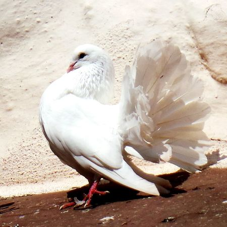 White Dove Weisse Taube Friedenstaube