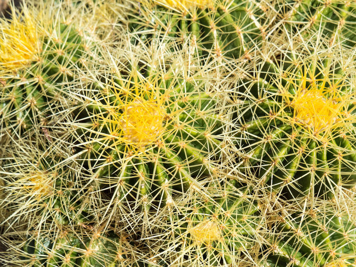 Cactus Close-up Freshness Growth Nature No People Outdoors Plant Spiked Yellow
