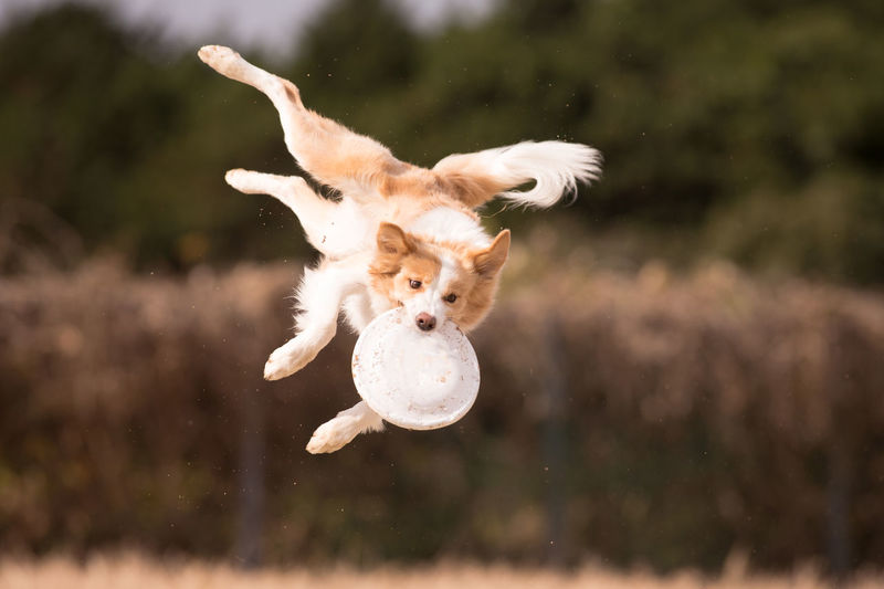 Pets Animal Themes Domestic Mammal Animal One Animal Domestic Animals Dog Canine Vertebrate Motion Running Day Mid-air Nature Playing Jumping Focus On Foreground No People Sunlight Outdoors Disc Dog