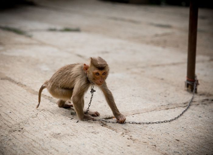 Monkey Wearing Chain Attached To Pole On Footpath