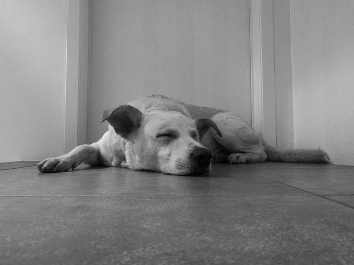 Animal Themes Domestic Animals Dog Pets Sleeping Animal Loyalty