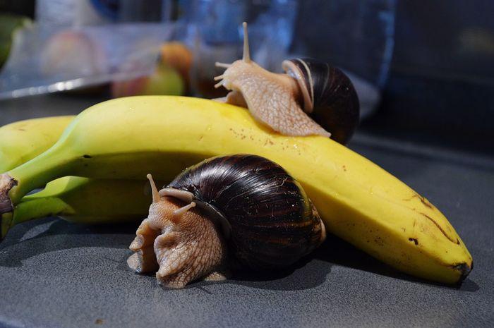 Pet Portraits Snail Snail🐌 Snails Snails🐌 Snail Collection Snail Photography Achatina Achatina Fulica Banana Animal Themes Pets Photography Pet