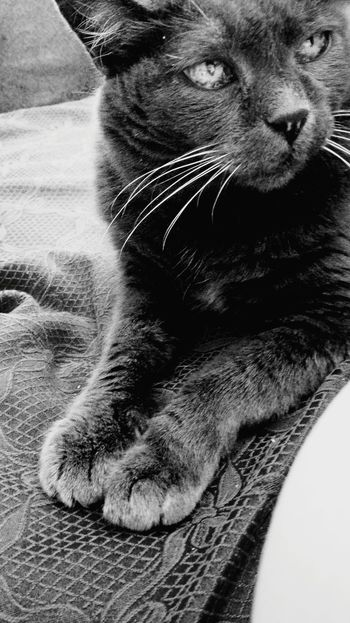 Eighteen years of love. Forever in my heart, Minu. Saggezza Patience Purry Grey Cat Green Eyes Old-fashioned VINTAGE CAT The eyes of love