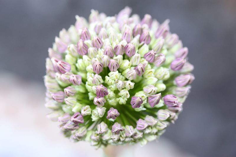 Alium Flowehead Flower Flowering Plant Plant Beauty In Nature Freshness Vulnerability  Fragility Growth Close-up Flower Head Nature Focus On Foreground Pink Color Outdoors Day No People Petal