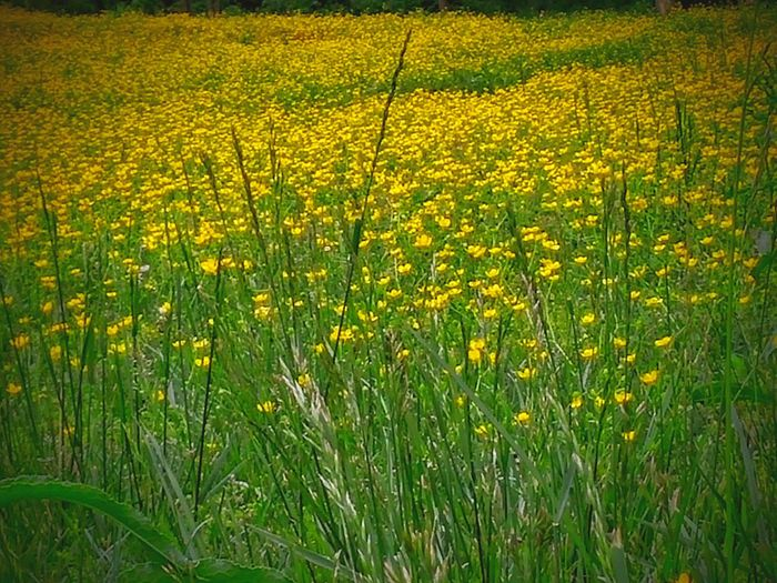 Color Palette Tranquility Growth Nature_collection Day Tranquil Scene -field Of Flowers-wildflowers-yellow Outdoors Something Different No People Finding New Frontiers Check This Out Flower