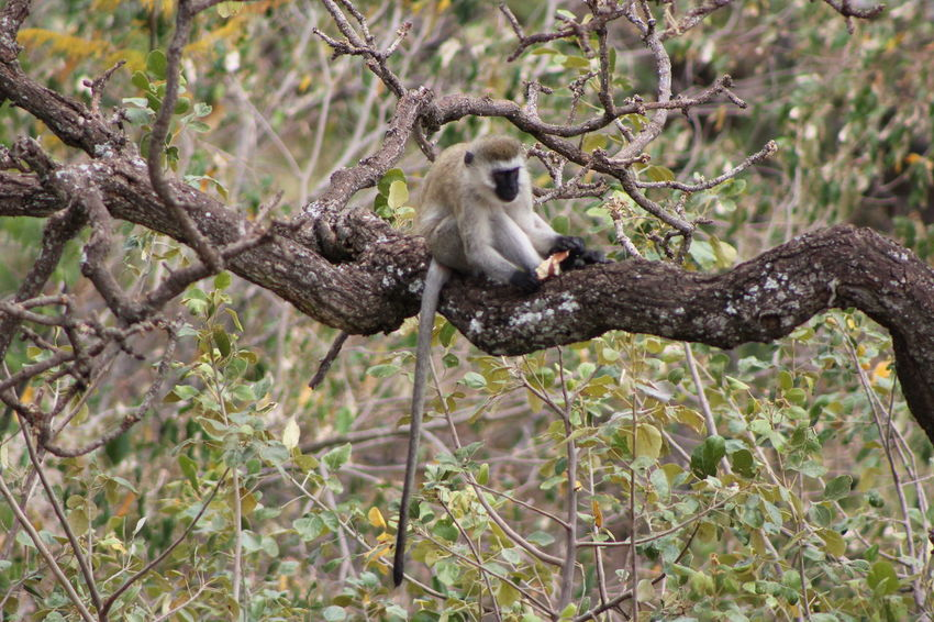 Africa Animal Themes Animals In The Wild Beauty In Nature Branch Focus On Foreground Forest Full Length Monkey Monkey Eating Monkey In A Tree Monkey On A Branch Monkey Playing Monkey Tail No People One Animal Perching Tanzania Tranquil Scene Tranquility Tree Velvet Monkey Vervet Monkey Wild Monkey Wildlife