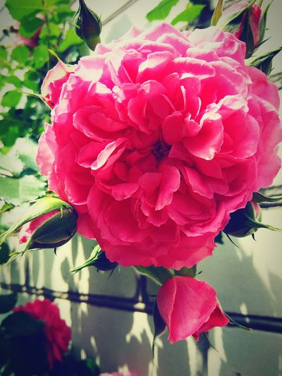 Rose - Flower Pink Color Beauty In Nature Flower Day 🌸good Day Summer 🌹🌞beauty