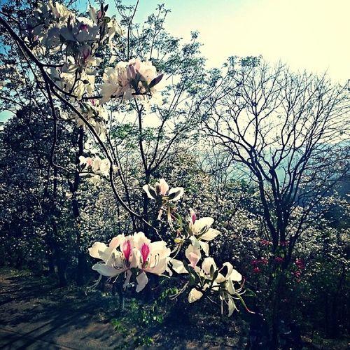 ดอกเสี้ยว