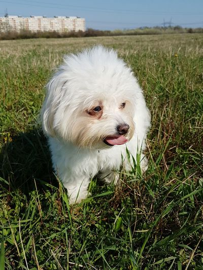 Animal Themes One Animal Pets Green Color Grass Outdoors No People Close-up Dogs Of EyeEm Dog Fluffy Cute Dog  Dog Portrait Dogoftheday Doglover Bichon