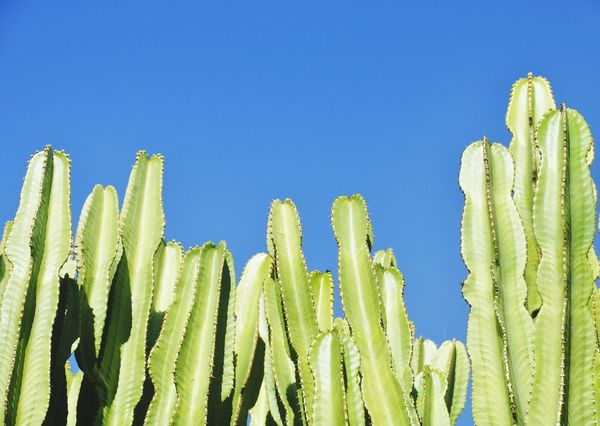 Sardinia plants EyeEm Selects Cactus Growth Green Color Nature Plant Saguaro Cactus No People Clear Sky Outdoors Day Blue Arid Climate Desert Sky Close-up Aridity Arid Summer Mediterranean  Climate Change(global Warming) Invasive Plant Invasive Species Invasive Sardinia