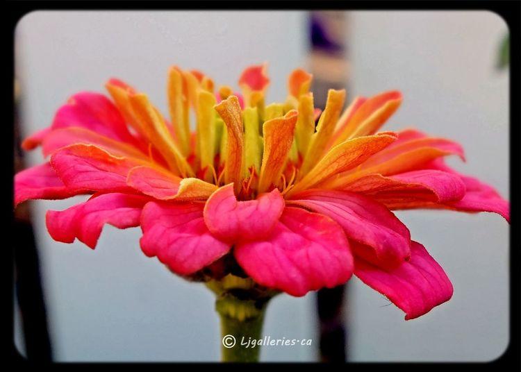 Onlyflowers EyeEm Nature Lover Flower#garden#nature#ecuador#santodomingoecuador#eyeEmfollowers#iphoneonly#nofiltrer#macro_garden#pretty#beautiful#followme#sho Taking Photos