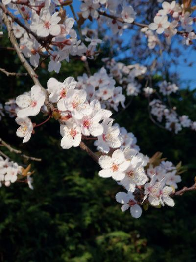 Cherry Blossom Plant Growth Flower Flowering Plant Fragility Tree Beauty In Nature Freshness Vulnerability  Blossom Close-up Nature Branch No People Day Springtime White Color Twig Outdoors