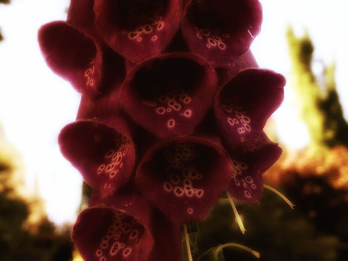 Digitalis Digitalis Purpurea EyeEm Best Shots EyeEmNewHere HDR Hdr_Collection Beauty In Nature Biology Body Part Botany Close-up Common Foxglove Danger Dangerous Dangerous Plants Day First Eyeem Photo Flora Floral Flower Flowering Plant Focus On Foreground Foxglove Freshness Growth Heart Inflorescence Nature No People Outdoors Pattern Pink Flower Plant Poison Poisonous Purple Foxglove Seed Sky Spring Springtime Sunlight