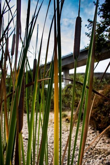 Close-up of bamboo plants on field against sky