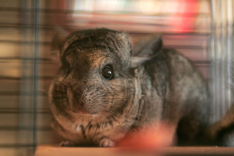 Chinchilla Animal Animal Body Part Animal Eye Animal Head  Animal Themes Animal Wildlife Animals In The Wild Cage Chinchillalove Chinchillas Close-up Domestic Domestic Animals Indoors  Looking Mammal No People One Animal Pets Rabbit Rodent Selective Focus Vertebrate Whisker