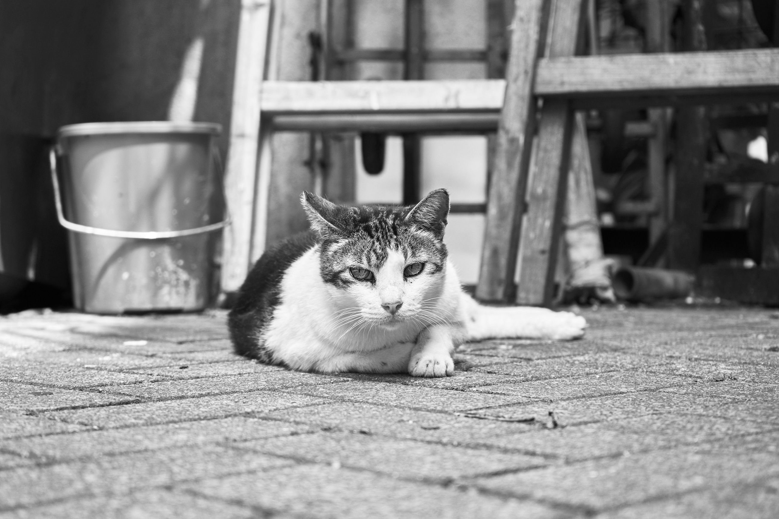 domestic animals, pets, animal themes, mammal, domestic cat, one animal, cat, feline, relaxation, portrait, looking at camera, whisker, selective focus, focus on foreground, lying down, relaxing, sitting, resting, two animals, day