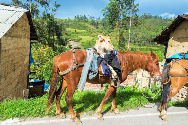 A cow riding a horse near Chachapoyas, Peru Agriculture Animal Blue Blue Sky Chachapoyas Country Cow Cows Domestic Animals Grass Green Horse Horses Landscape Mammal Nature Outdoors Peru Range Rural Scenic Sky Summer Sun White