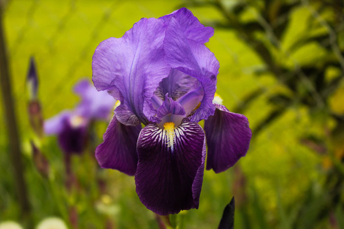 Beauty In Nature Blooming Close-up Day Flower Flower Head Fragility Freshness Growth Iris Iris - Plant Nature No People Outdoors Plant Purple Violeta