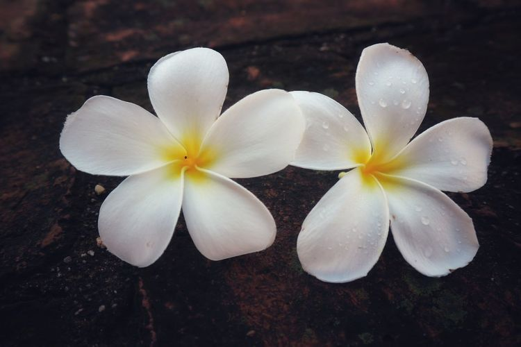 Close-up of white frangipani