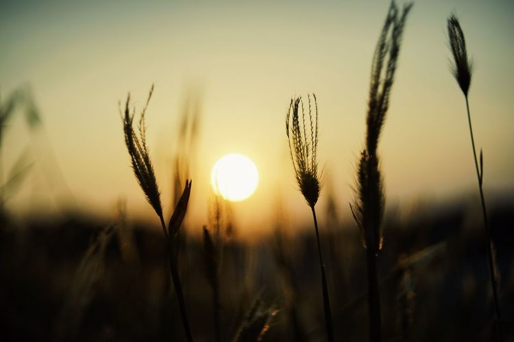 Agriculture Beauty In Nature Cereal Plant Close-up Crop  Field Focus On Foreground Growth Land Nature No People Outdoors Plant Scenics - Nature Sky Stalk Sun Sunlight Sunset Tranquil Scene Tranquility