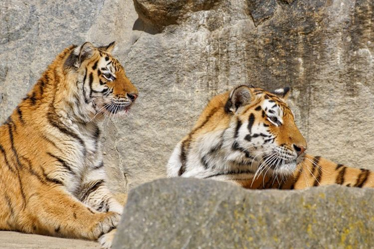 Tigers by rock