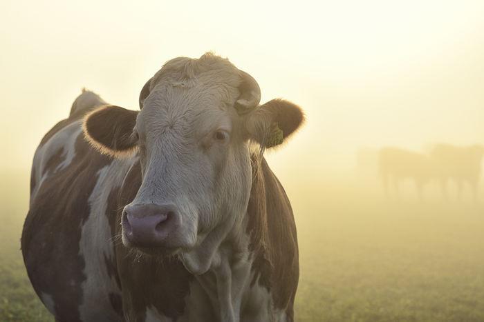 Herd Of Cow Standing On Grassy Field In Foggy Weather Backlight Bio Cow Cows Farbe Fog Fotograf Gegenlicht Hausrind Herd Of Cows Herde Horizontal Kuh Landscape Light Natur Nature Nebel Niemand Nutztier Viehweide