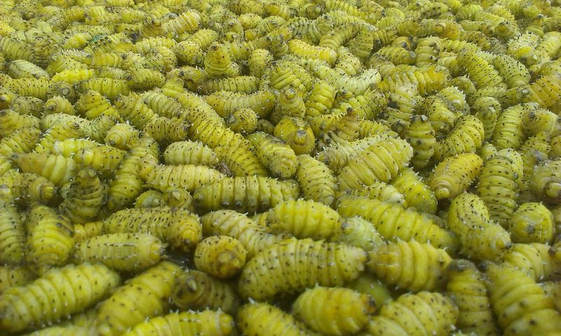 Silk worm Growth Plant Green Color Backgrounds Nature No People Day Full Frame Outdoors Freshness Beauty In Nature Close-up Silkworm Silkworms Insects  Insect Photography Mobilephotography Mobile_photographer Mobile Photography