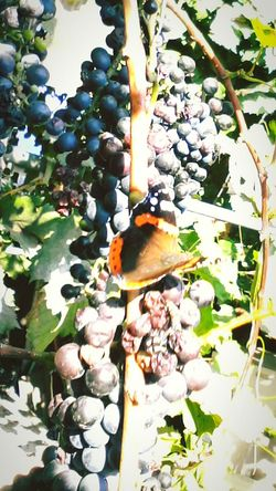 Green Plant Nature Autumn Colorful Leafs Green Butterfly - Insect Showcase: 2016 Showcase: October @wolfzuachis Ionitaveronica Wolfzuachis Eyeem Market Fruits Grapes Butterfly Vineyard Slowfood Insect Dramatic Angles Close-up Edited By @wolfzuachis Leaf Grape