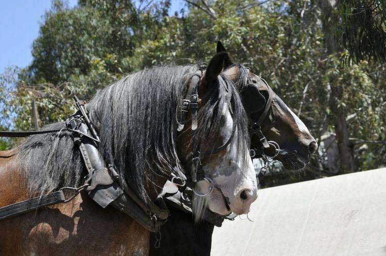 Horses in Ballarat , Australia Horses Sovereign Hill Ballarat  Australia Australian Photographers Australian Love Animals