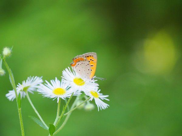 素敵な週末を… ベニシジミ 蝶々 Butterfly Collection Butterfly - Insect Insect Collection Taking Photos ハルジオン EyeEm Nature Lover EyeEm Best Shots Green Nature EyeEm Gallery Eyemphotography EyeEm Best Shots - Nature Beauty In Nature 日だまり