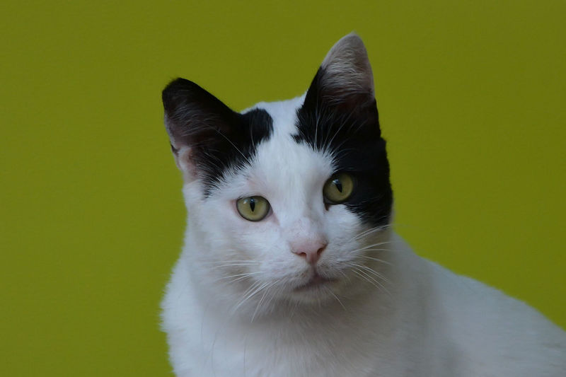 Pets Cat Domestic Animals Animal Animal Themes One Animal Portrait Close-up Colored Background Animal Body Part Looking At Camera White Color Animal Head  Yellow Eyes Animal Eye