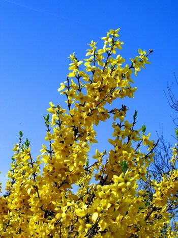 Forsythia blooms and flowers Beauty In Nature Blossom Bright Yellow Flower Bright Yellow Petals Bush Close-up Day Dramatic Sky Flower Flowering Bushes Flowering Tree Forsythia Forsythia Blooms Forsythia Flowers Freshness Growth Nature No People Outdoors Plant Yellow Yellow Blooms Blue Sky Yellow Flower