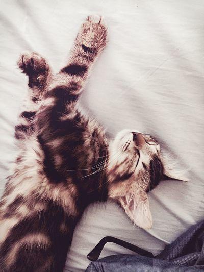 Sleeping Lazy Cat Animal Feline Kitten Pet Cute Adorable