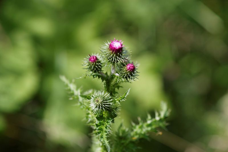Thistle Thistles Thistle Flower Wildflowers In The Field Close-up Flowers