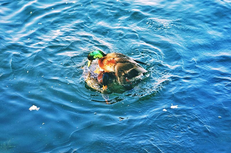 High angle view of crab swimming in sea